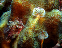 Christmastree Worms - Cozumel