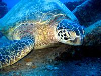 Green Turtle - Oahu, Hawaii